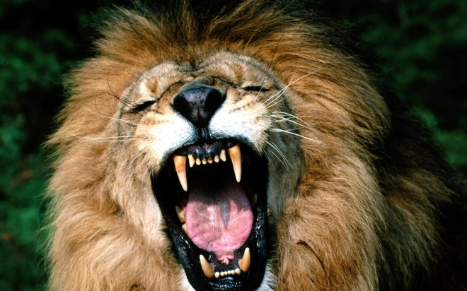 roaring-african-lion-wallpaper-2-2560x1600